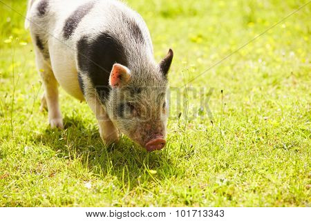 Pet Micro Pig In Field Of Yellow Summer Flowers