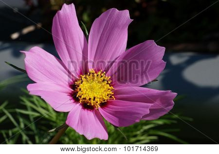 Close-up of a pink cosmos flower blossom