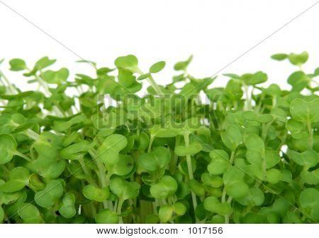 Fresh Summer Cress, Healthy Salad Garnish Food