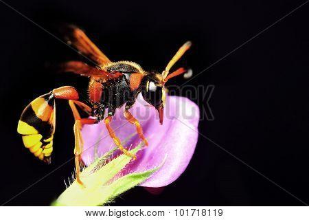 Median wasp (Dolichovespula) portrait