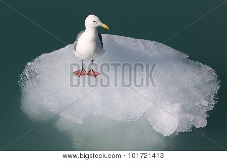 Gull on an Iceberg