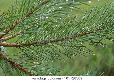 Pine Branches In Drops Of Rain Or Dew. On Blurred Background