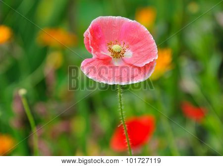 pink poppy in summer flower bed closeup