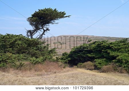 Cypress Tree And Shrubs At Bodega