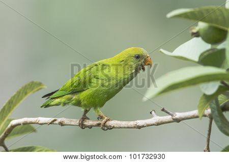 Ceylon Hanging-parrot on a branch Sri Lanka