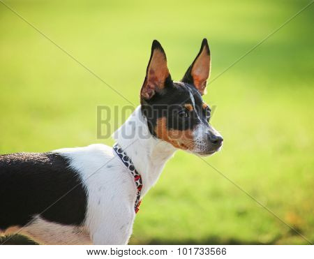 a cute rat terrier dog at a local park