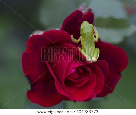 Green Tree Frog on Red Rose