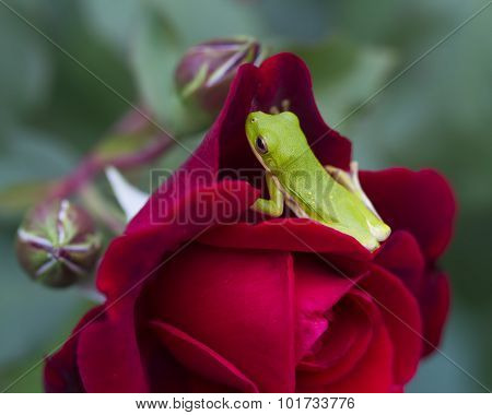 Green Tree Frog on Don Juan Rose