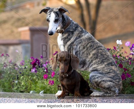 dachshund and Whippet