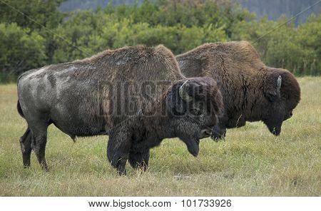 Alaskan Wood Bison