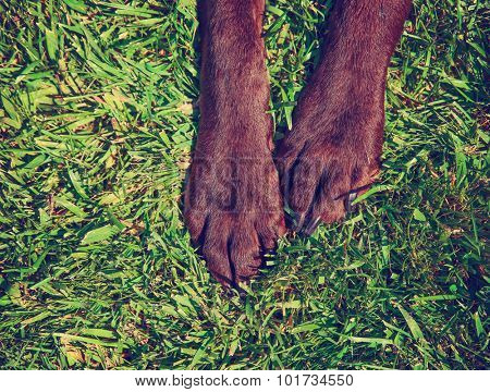 front feet or paws of a chocolate lab in the grass toned with a retro vintage instagram filter app or action effect