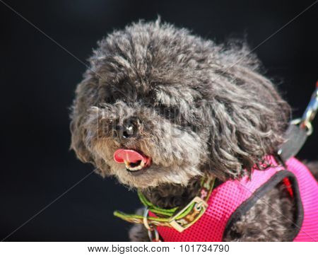 a cute little gray poodle with a pink harness on panting on a hot summer day while on a walk with a pink tongue hanging out