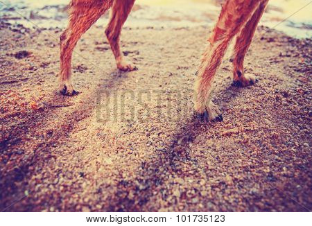 wet chihuahua mix dog legs on a sandy shore in front of water during sunrise or sunset toned with a retro vintage instagram filter app or action effect