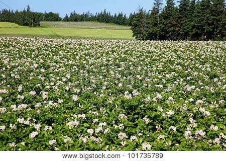 Potato field in flower in rural Prince Edward Island, Canada.