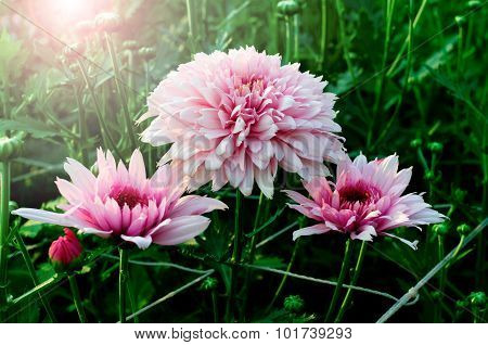 beautiful chrysanthemum.