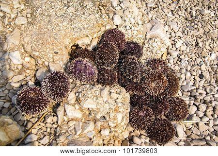 Sea Urchin, Bol, Brac, croatia