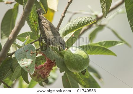 Thick-billed Flowerpecker In Ella, Sri Lanka
