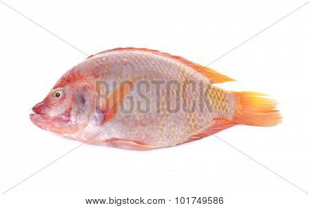 Whole Round Fresh Red Tilapia Fish Or Tub-tim Fish On White Background