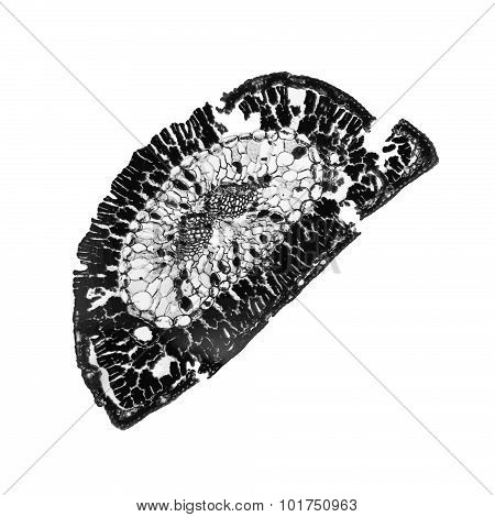 Black And White Pine Leaf Micrograph