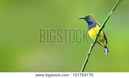 (bird) Olive-backed Sunbird Perching On Branch