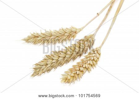 Three Spikelets Of Wheat On A Light Background