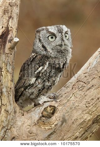 Eastern Gray Screech Owl