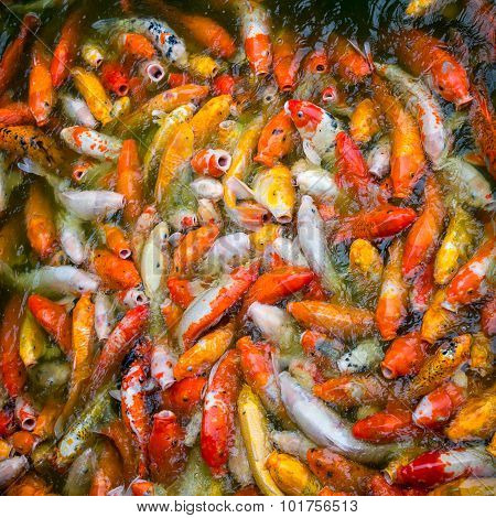 Bright White, Red, Yellow Japanese Koi Fish Eats Food in a Water