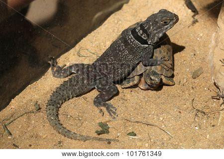 Madagascar spiny-tailed iguana (Oplurus cuvieri) and spider tortoise (Pyxis arachnoides arachnoids). Wild life animal.