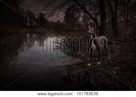 Great Dane dog walking outdoor halloween spooky portrait