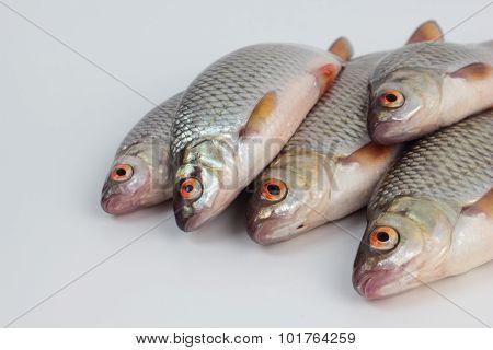 Roach fish.
