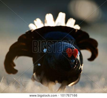 Lekking Black Grouse ( Lyrurus Tetrix).