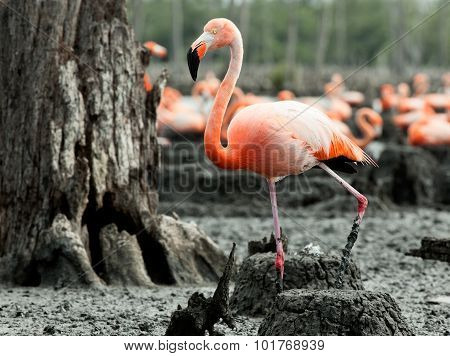 Flamingo (phoenicopterus Ruber) At Nest.