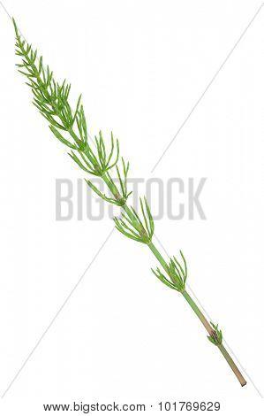 Medicinal plant: Equisetum arvense. Horsetail