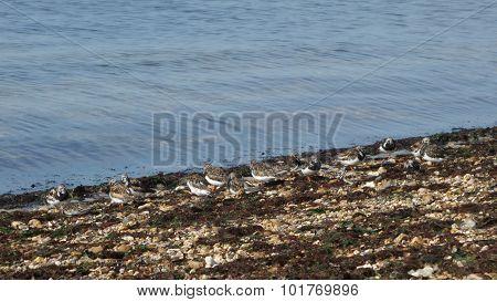 Ruddy Turnstones on Shoreline