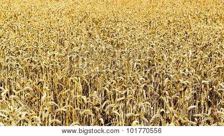 Golden Field Of Ripe Grain