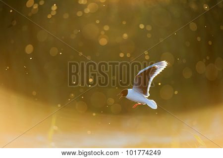 A Flying Black-headed Gull.  Backlight.