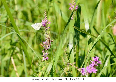 Pieris Rapae Or Small Cabbage White Butterfly