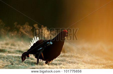 Lekking Black Grouse ( Lyrurus Tetrix) Portrait.