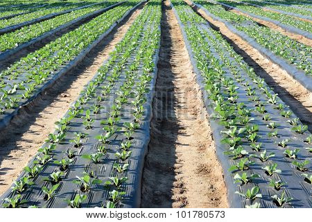 Freshly planted crops in furrows covered with plastic to save water and erosion.