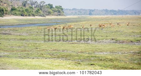 Herd of Impala along the River