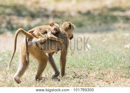 Baby Yellow Baboon (papio Cynocephalus) Riding On Its Mothers Back