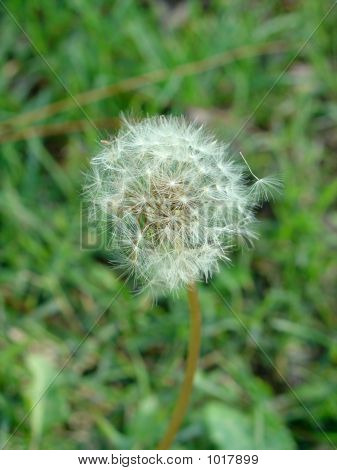 Dandelion In Green 2