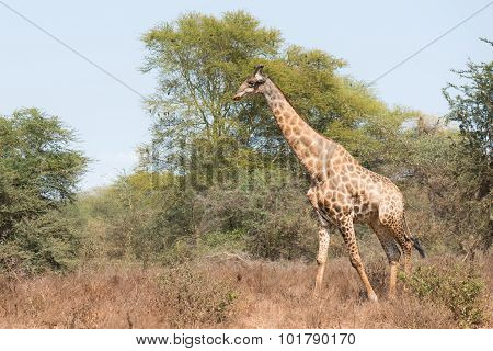 Giraffe (giraffa Camelopardalis) Walking Through A Dry Habitat