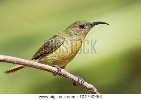 Olive Sunbird (cyanomitra Olivacea) Drinking Nectar From A Pierced Flower