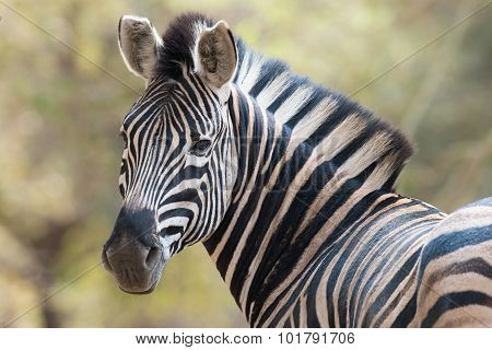 Portrait Of A Zebra Looking Back Towards The Viewer