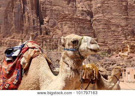 Camel In The Wadi Rum Desert,Jordan