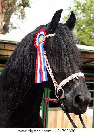 Award Winning Friesian Stallion  During Celebration