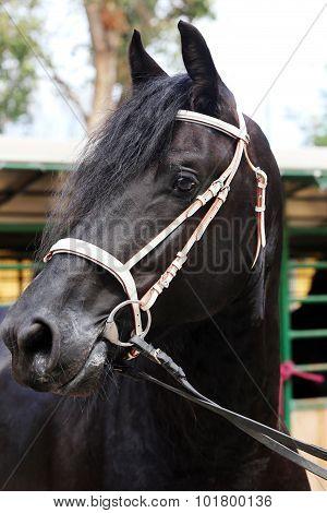 Head Shot Of A Friesian Stallion