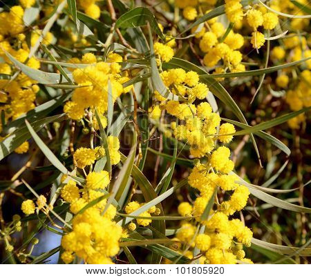 Branch Of Mimosa Plant With Round Fluffy Yellow Flowers