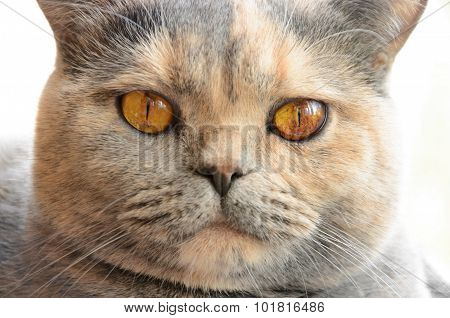 Portrait Of British Shorthair Cat Closeup